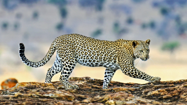 the leopard cant change its spots essay