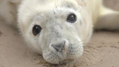 Seal pup looking up at the camera