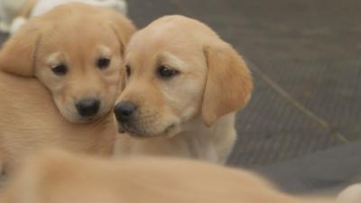 Blue Peter - Lindsey meets adorable guide dog puppies