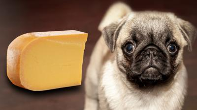Blue Peter - Quiz: Dog or cheese?