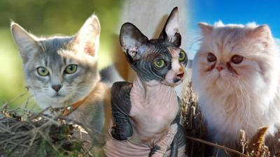 Blue Peter - Quiz: What type of cat are you?