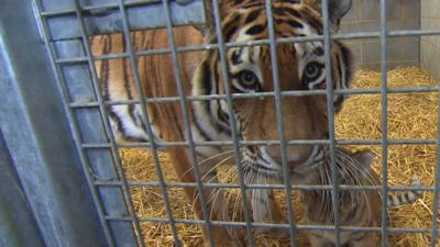 Blue Peter - What do tiger cubs eat?