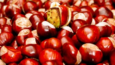 School Survival Guide - True or false: How to make your conkers unconquerable!