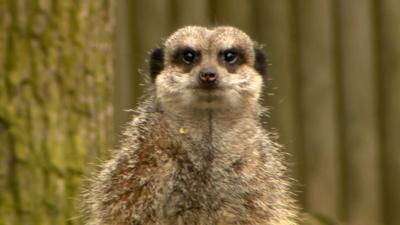 Junior Vets On Call - The meerkats get a pedicure