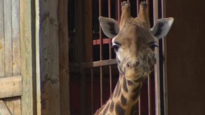 Junior Vets On Call - George the giraffe