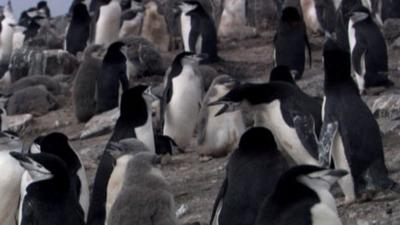 Andy's Wild Adventures - Chinstrap Penguins