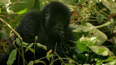 Andy's Wild Adventures - Mountain Gorillas