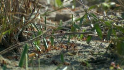 Andy's Wild Adventures - Grass Cutter Ants