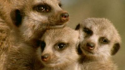 Andy's Wild Adventures - Meerkats