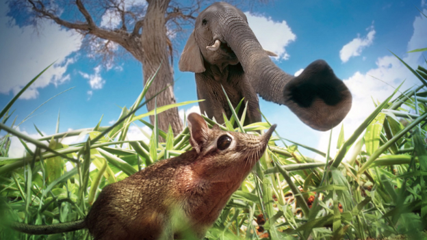 A sengi and an African elephant (credit BBC)