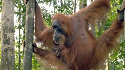 Never-before-seen footage of orangutan birth in Refugees Of The Lost Rain Forest