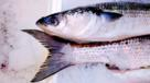 Grey mullet