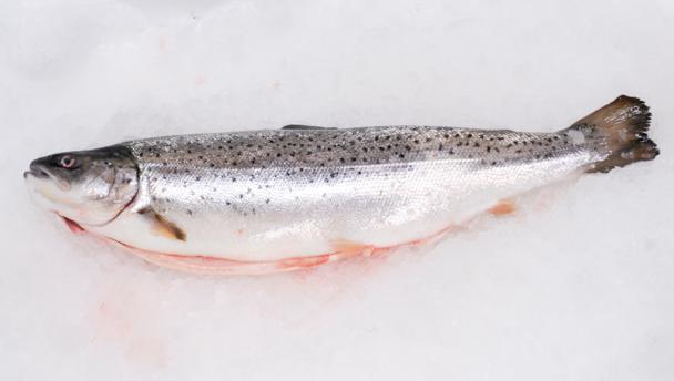 Sea trout