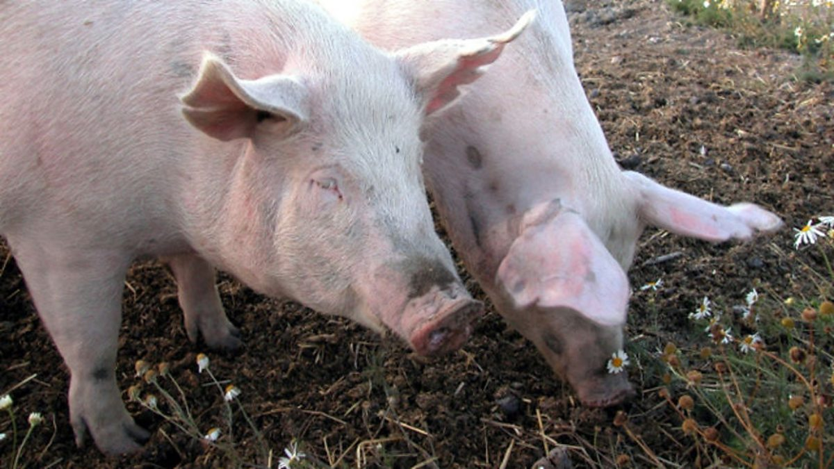 Свинья на унитазе фото 8 фотография