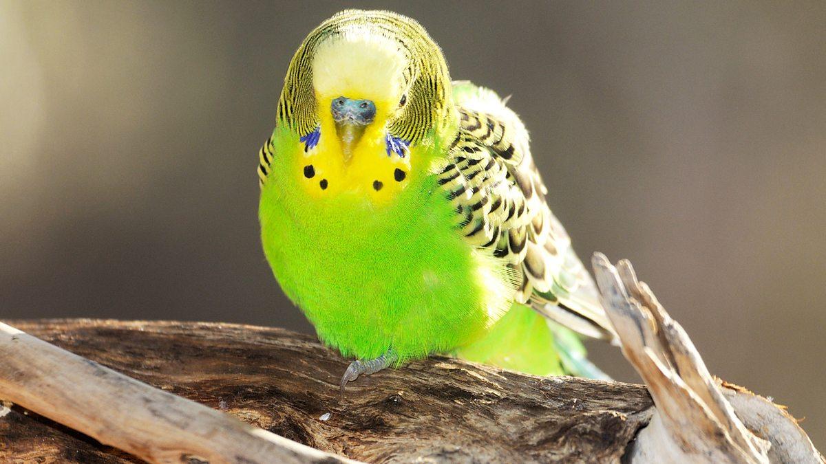 Окрасы волнистых попугаев - цвета, фото разных окрасов