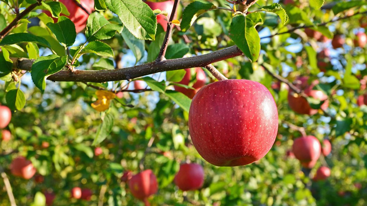 5a788806 BBC Learning English - 今日短语/ The apple does not fall far from the tree  有其父必有其子