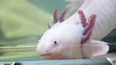 Image for Junior Vets Axolotl Sneak Peek