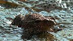 Spawning toads