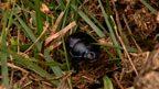 UK dung beetles