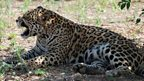 Jaguars fight
