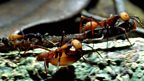 Ant bivouac