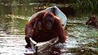 Aping apes