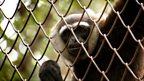 Gibbon dating agency