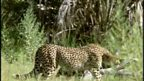 Elephant scares cheetah