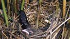 Intruder in the nest