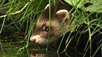 Polecat sighting