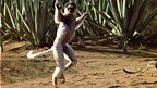 Lemur locomotion