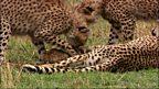 Cheetah lesson