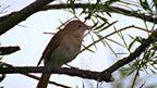 Nightingale sensation
