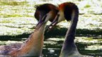 Great crested grebe courtship display