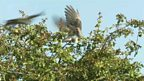 Cuckoo dogfight