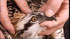 Tracking ospreys