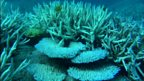 Colourless corals