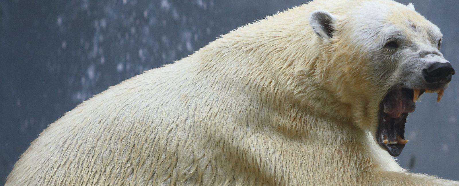 polar bear human relationship
