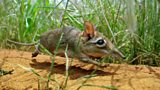 BBC Nature: Secrets of the sengi