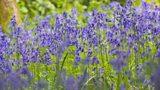 Bluebell garden featured