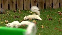 Rare white squirrels living in Edinburgh
