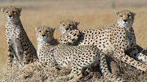 Cheetahs 'heading for extinction'