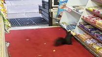 Loja no Canadá sofre desfalque com esquilos ladrões de chocolate