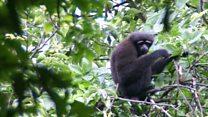 Meet the 'Skywalker' gibbon