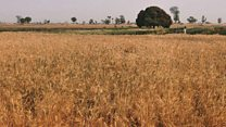 नाइजेरियामा धान खेती