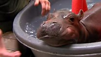 Hippo saved by children's hospital doctors