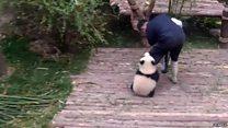 Clingy panda racks up 163m hits online