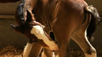 Internet hit foal twins growing stronger