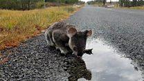Koalas 'facing extinction' in parts of Australia
