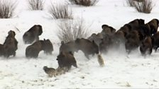 Image for Wolves hunt Buffalo